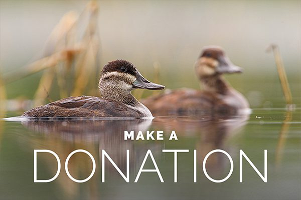 Donation graphic of little ducks in a pond